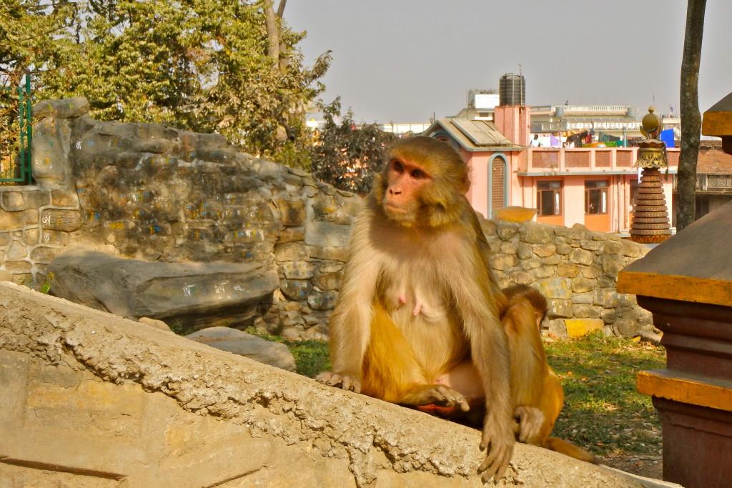 Swayambhu Temple are there monkeys in kathmandu Monkey temple in kathmandu do monkeys in nepal have rabies?