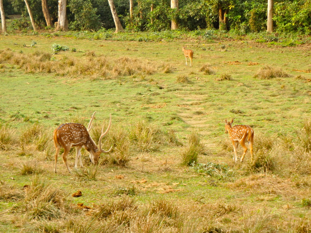 Chitwan deer what to see during a safai in chitwan nepal national parks