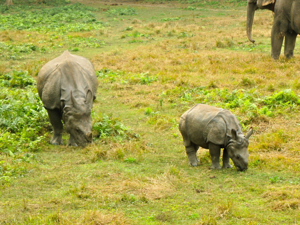 Rhinos in Chitwan jungle in nepal what animals to see in chitwan best travel experiences in nepal