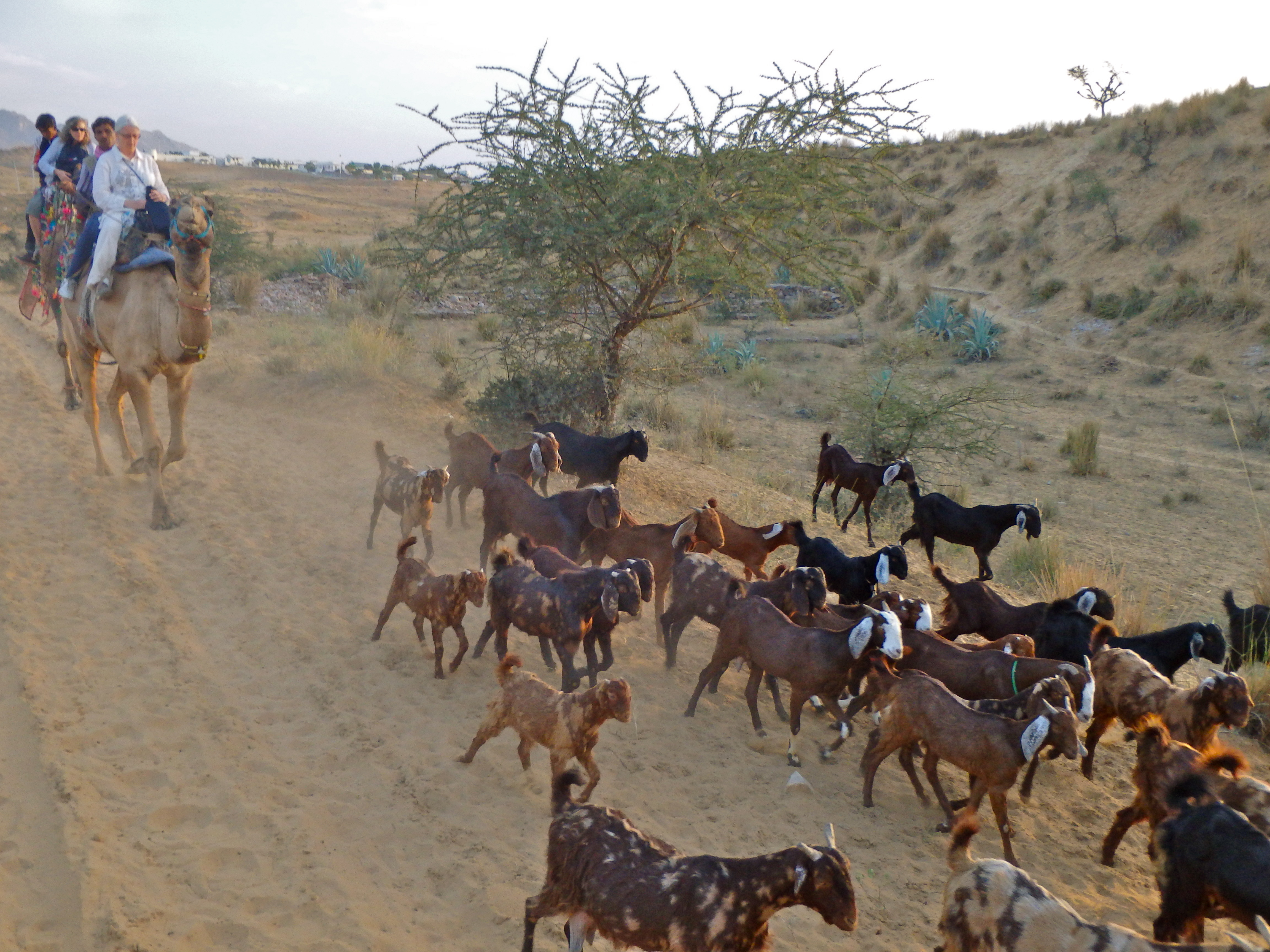 top tourist activities in pushkar india where to go in india to ride camels