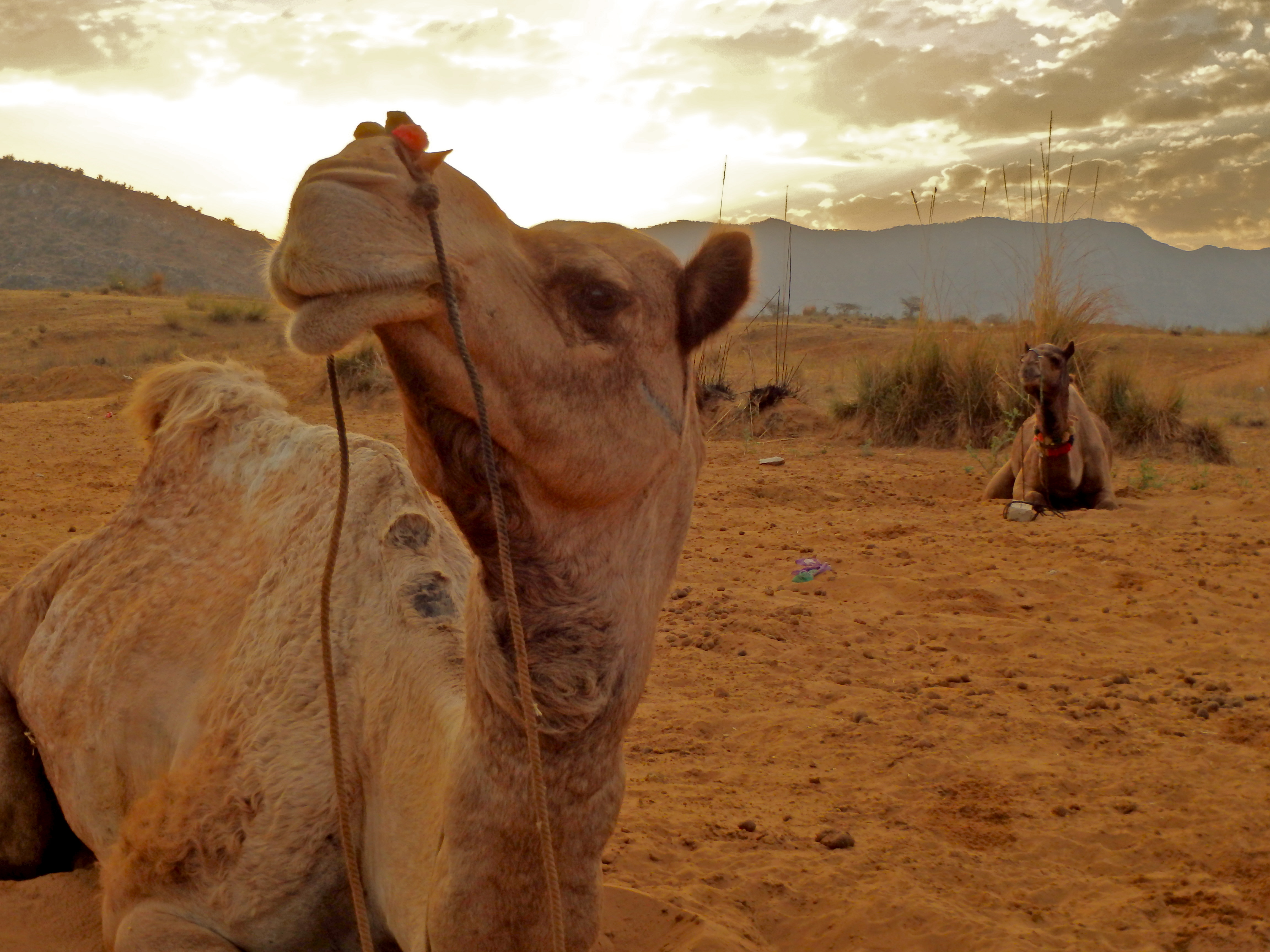 camels in the desert in india where to see the desert in india best overnight trips in india what to do in ten days in india