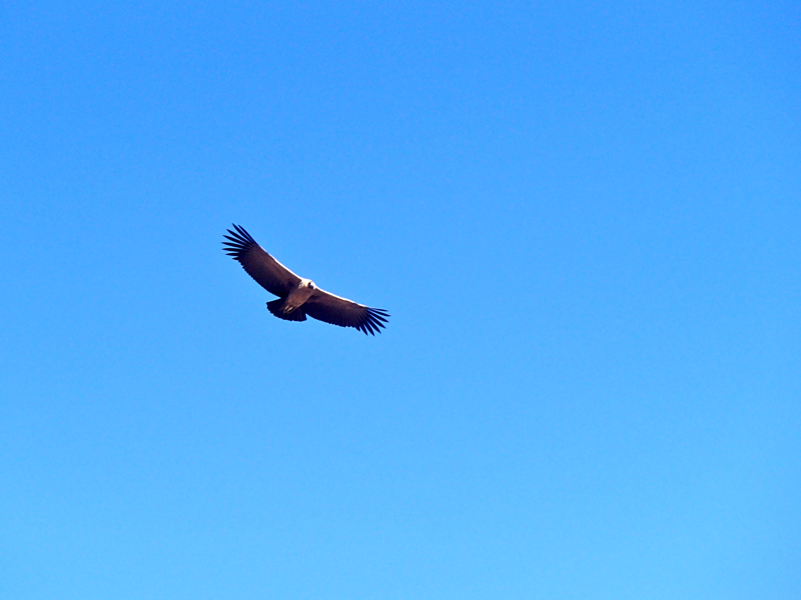 colca canyon peru Cruz del Condors where can I see condors in the wild