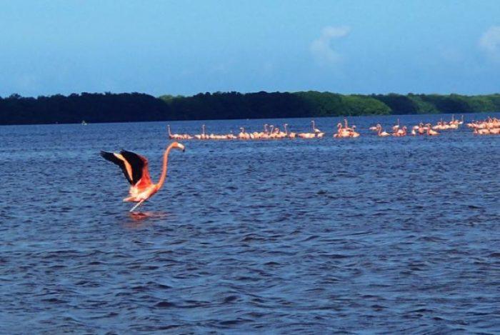 celestun flamingos how to see flamingos mexico